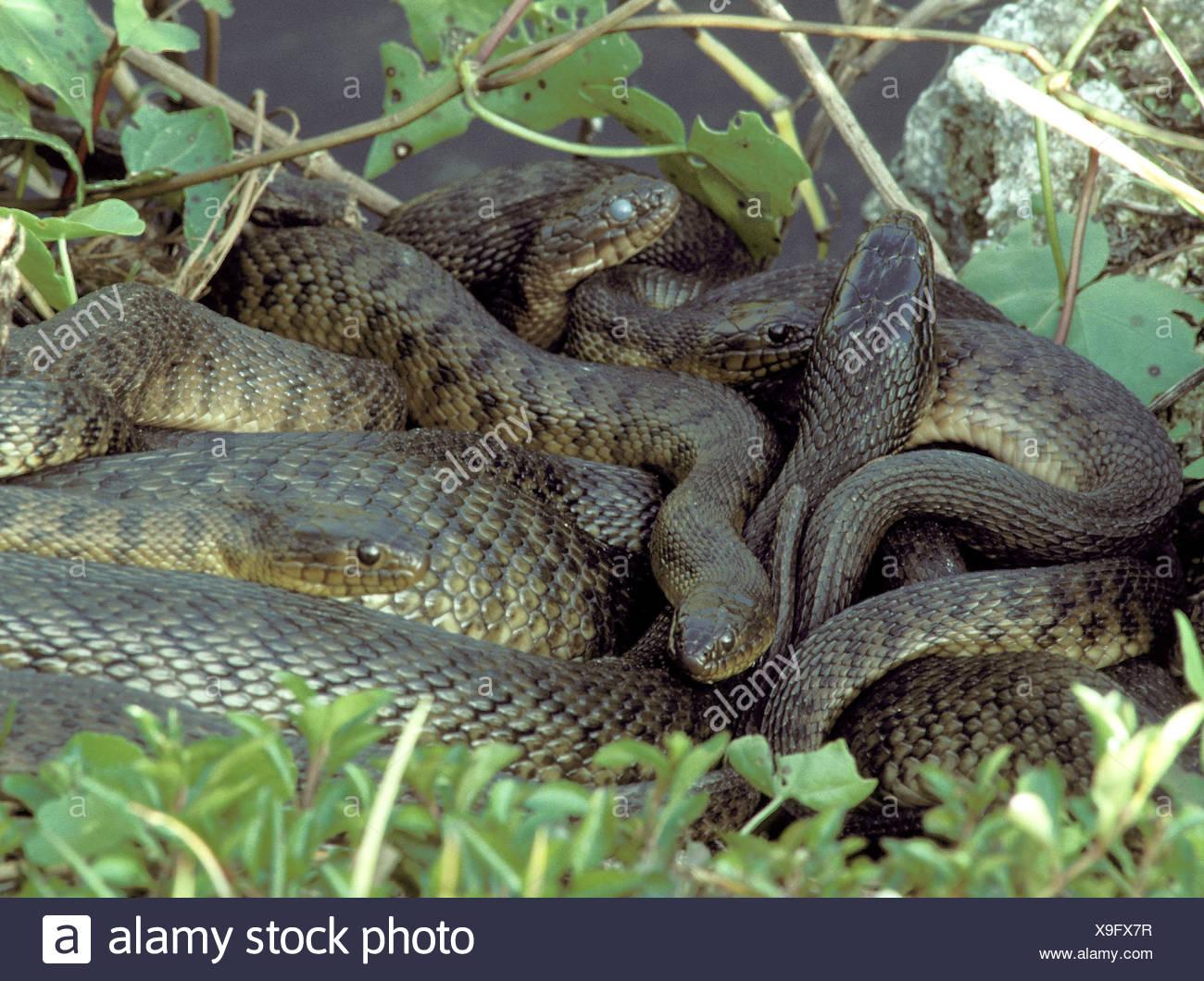 Florida Schlangen