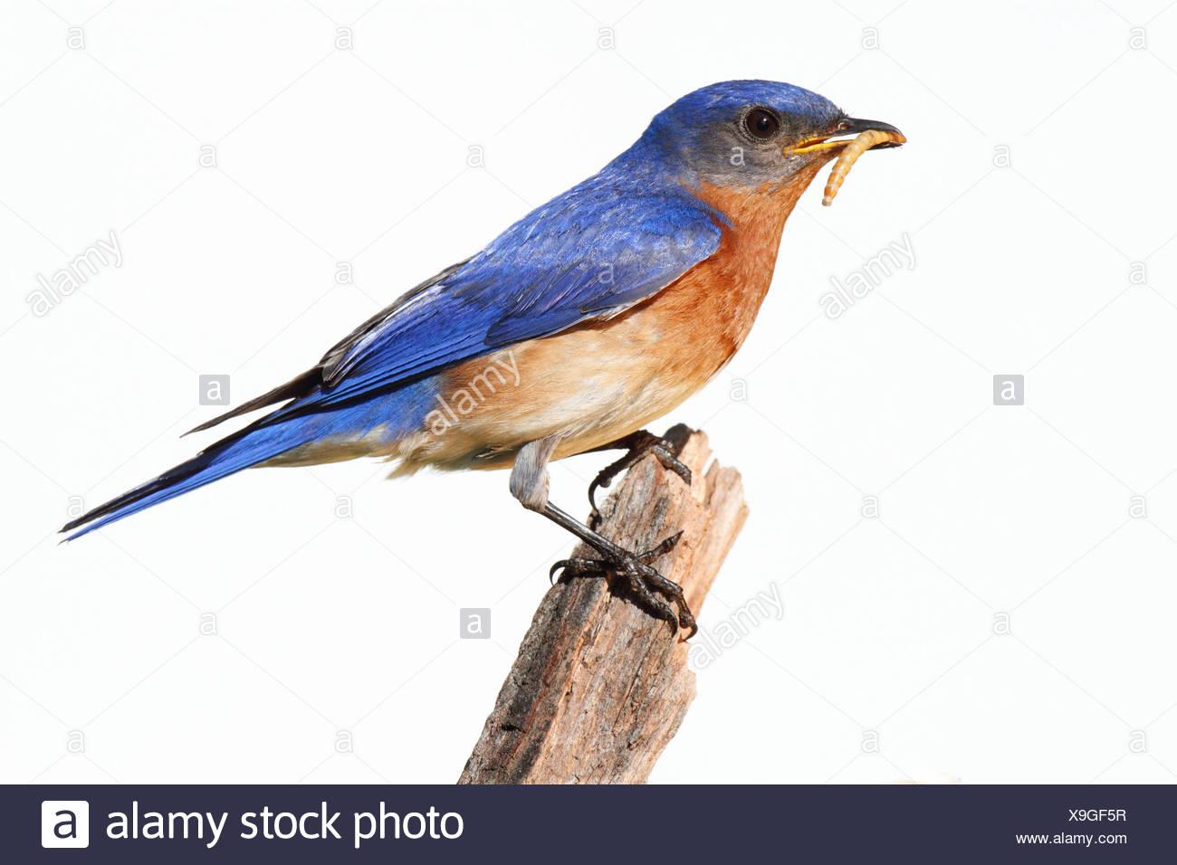 Fein Blaue Vogel Färbung Seite Ideen - Malvorlagen Von Tieren ...
