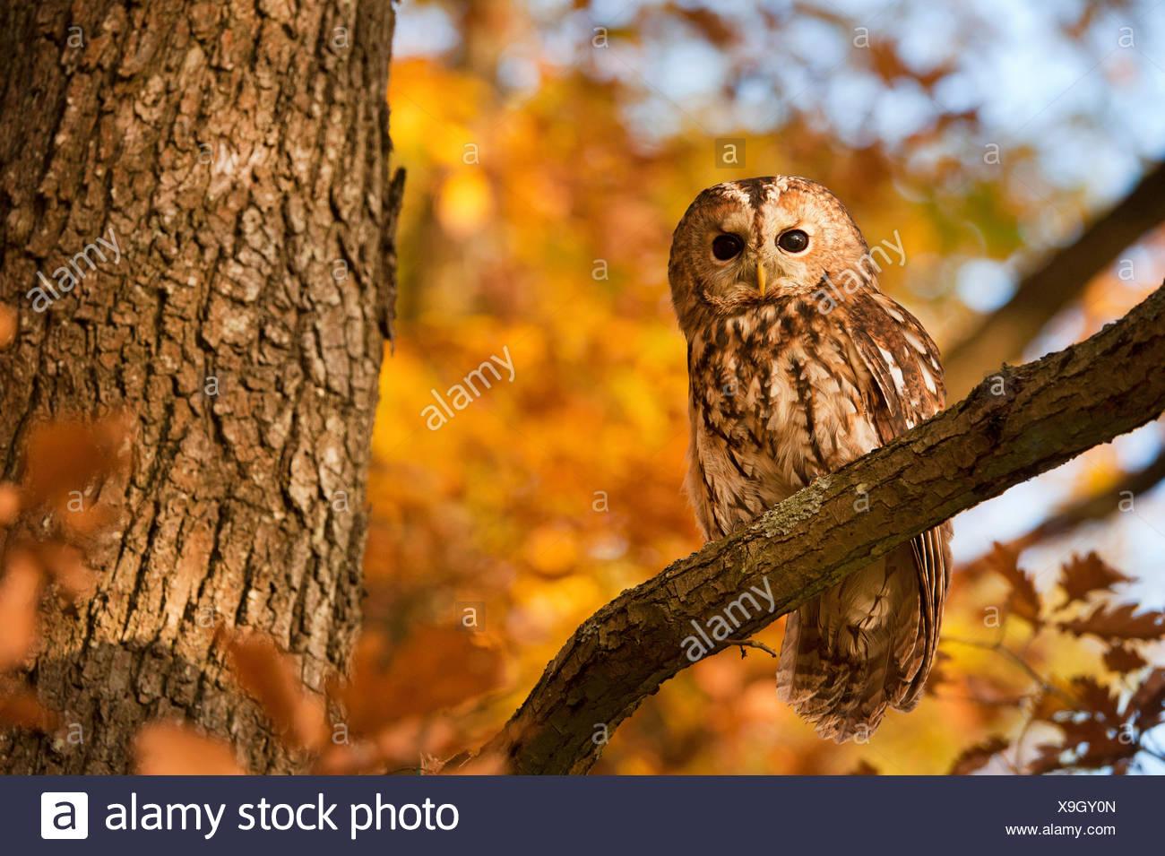Waldkauz, Wald-Kauz (Strix Aluco), Sitzt Auf Einem Ast Im Herbst, Deutschland | Eurasische Waldkauz (Strix Aluco), sitzt auf einem b Stockbild