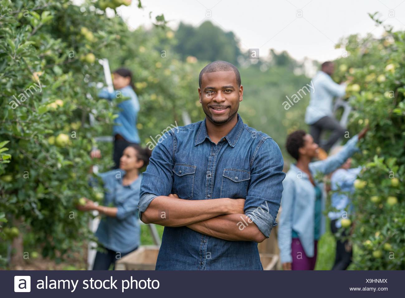 Einem organischen Obstgarten auf einem Bauernhof. Eine Gruppe von Menschen, die grüne Äpfel von den Bäumen pflücken. Stockbild