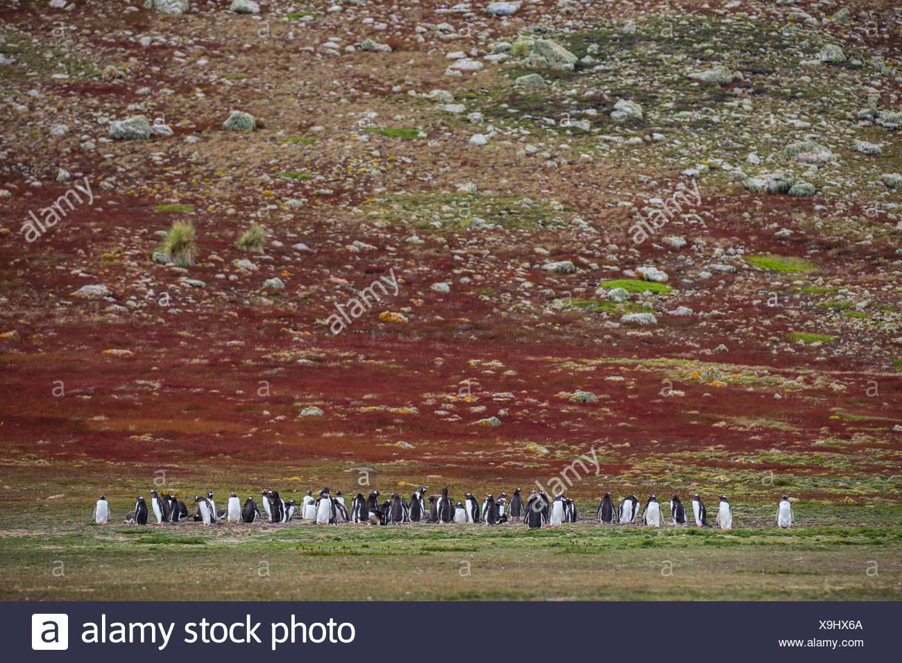 Pinguine im Abstand vor einer rollenden Red Hill. Stockbild