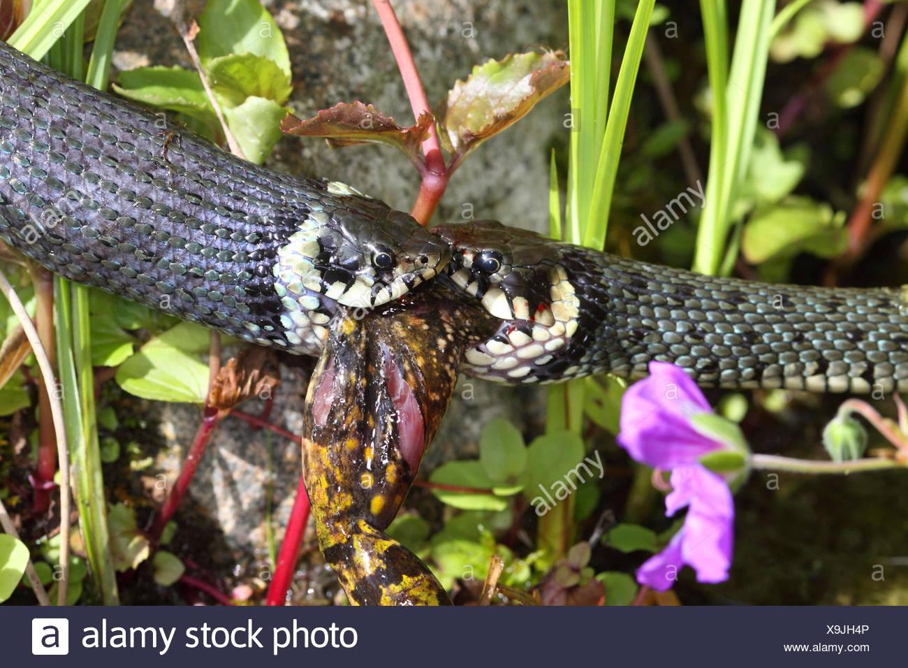 Ringelnatter (Natrix Natrix), Bilder Serie 7, zwei Schlangen kämpfen für einen Frosch, Deutschland, Mecklenburg-Vorpommern Stockbild