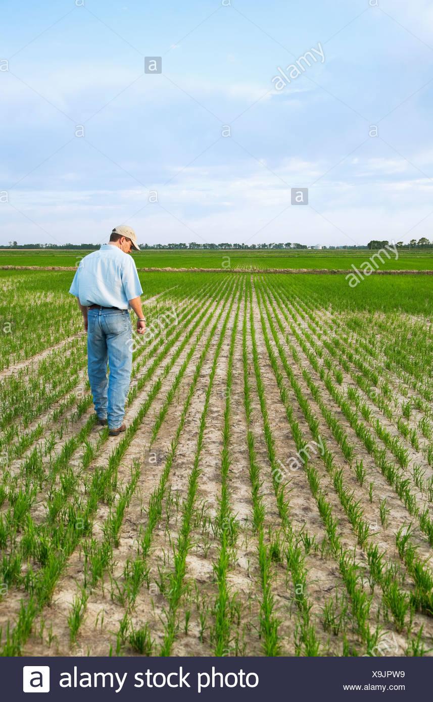 Landwirtschaft - ein Bauer (Züchter) führt durch sein Feld überprüfen den Fortschritt seiner frühen Wachstum Reisernte / Arkansas, USA. Stockbild