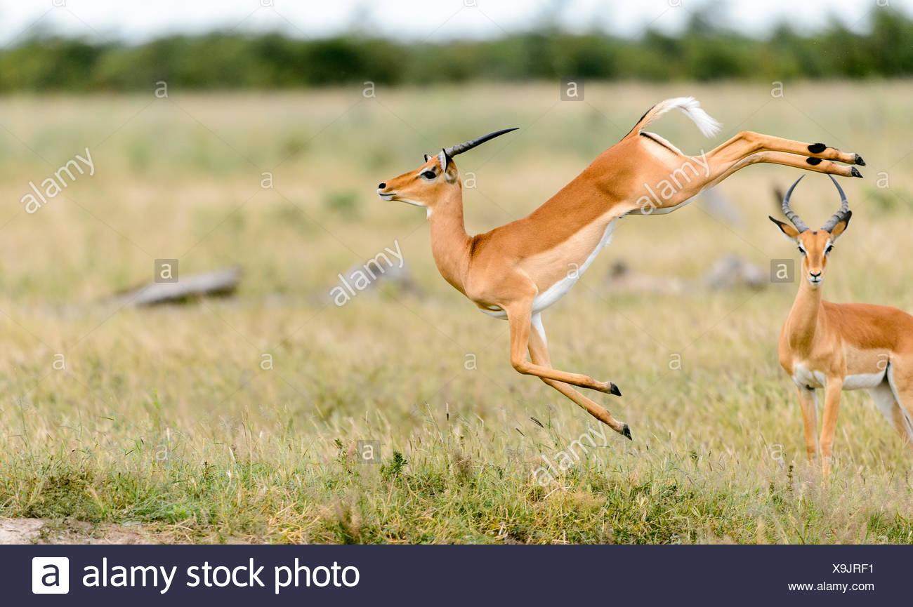 Ein impala, Aepyceros melampus, Sprünge in der Luft. Stockbild