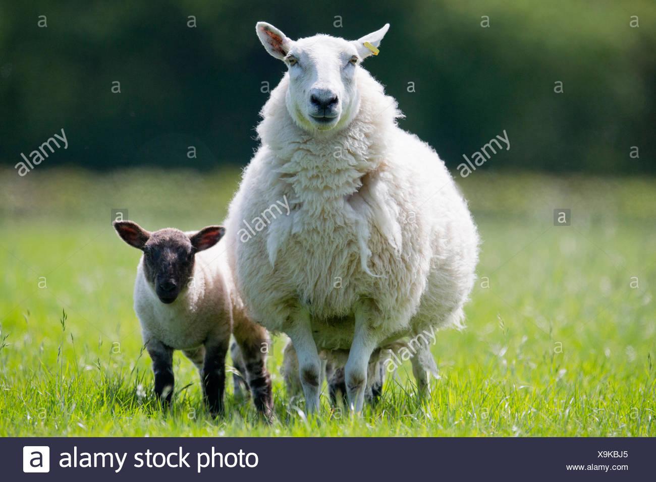Porträt von Schaf und Lamm im sonnigen Frühlingstagen grünen Rasen Stockbild