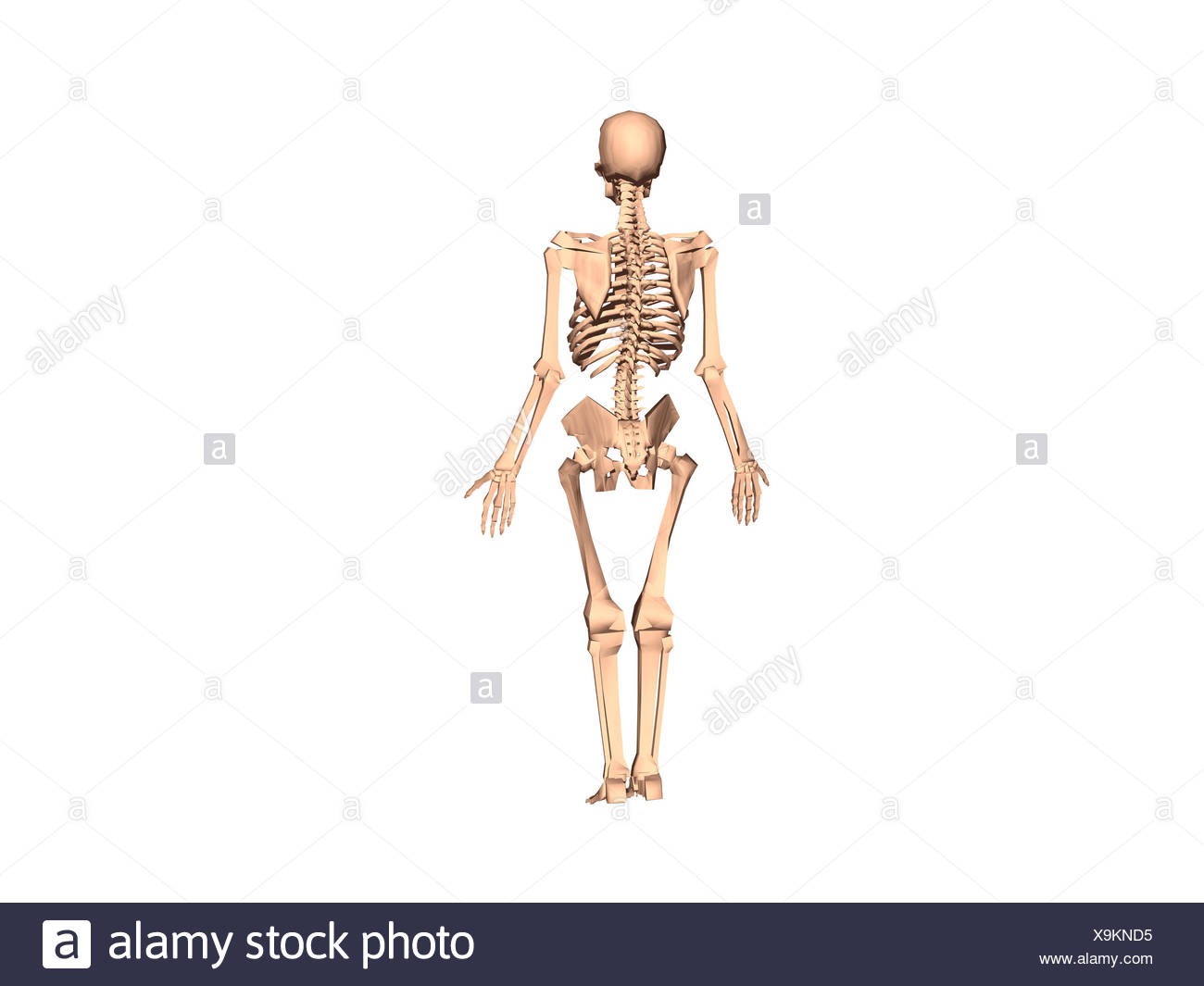 Skeleton Ribs Stockfotos & Skeleton Ribs Bilder - Alamy