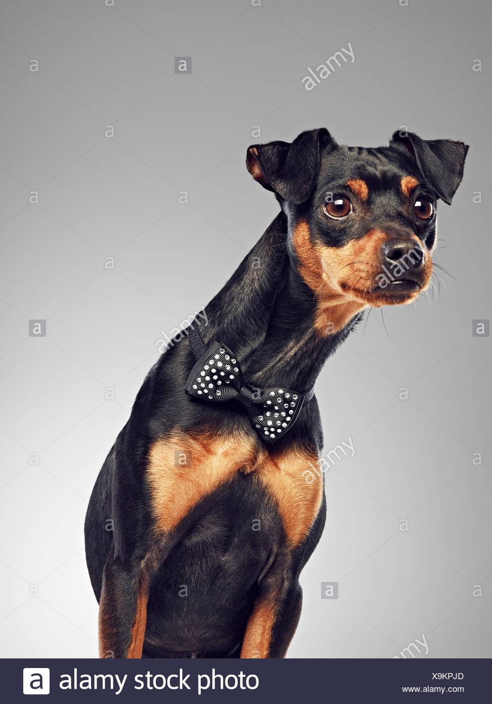Hund mit Fliege Stockbild