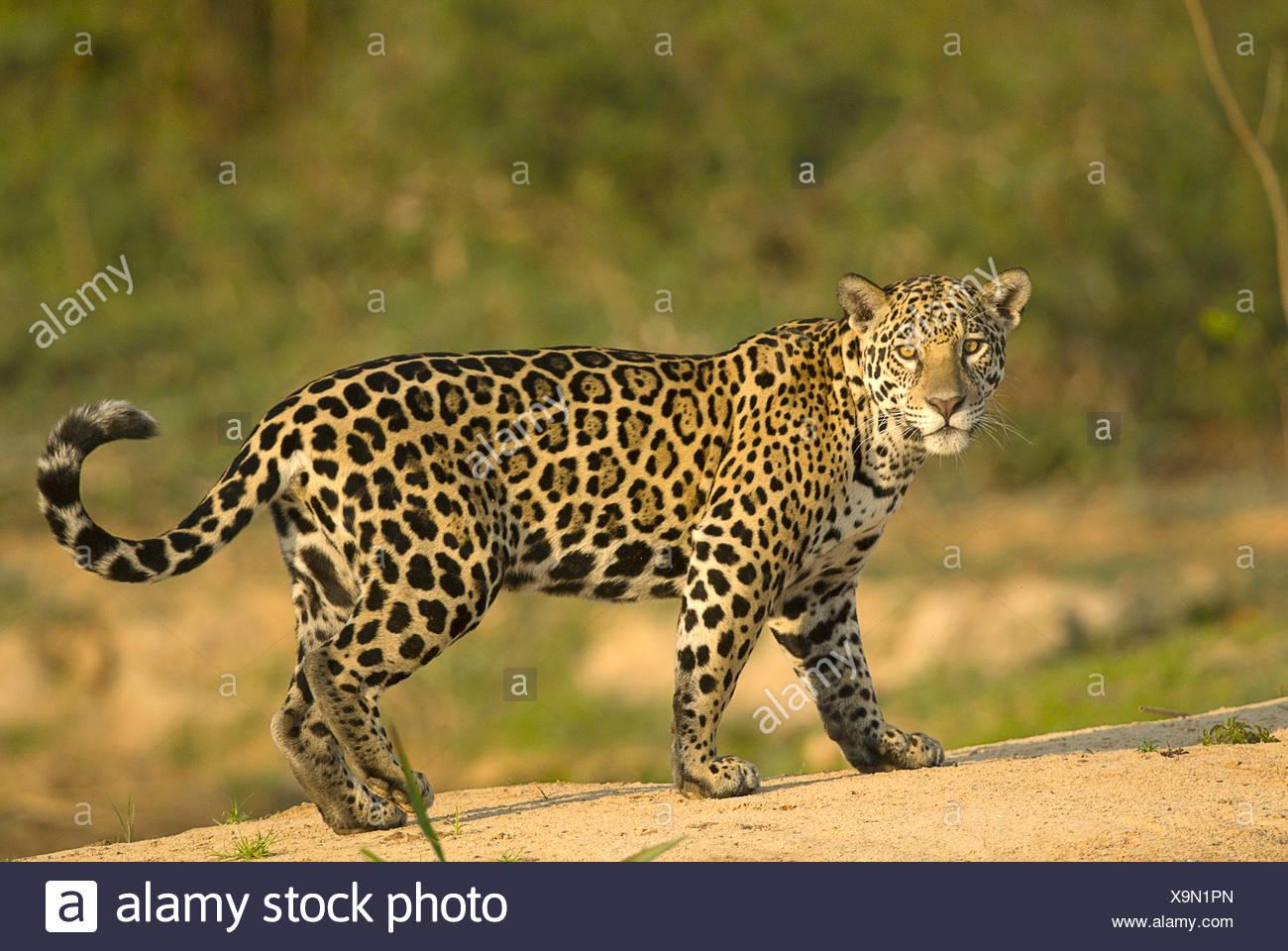 Weibliche Jaguar Panthera Onca Pantanal Mato Grosso, Brasilien Stockbild