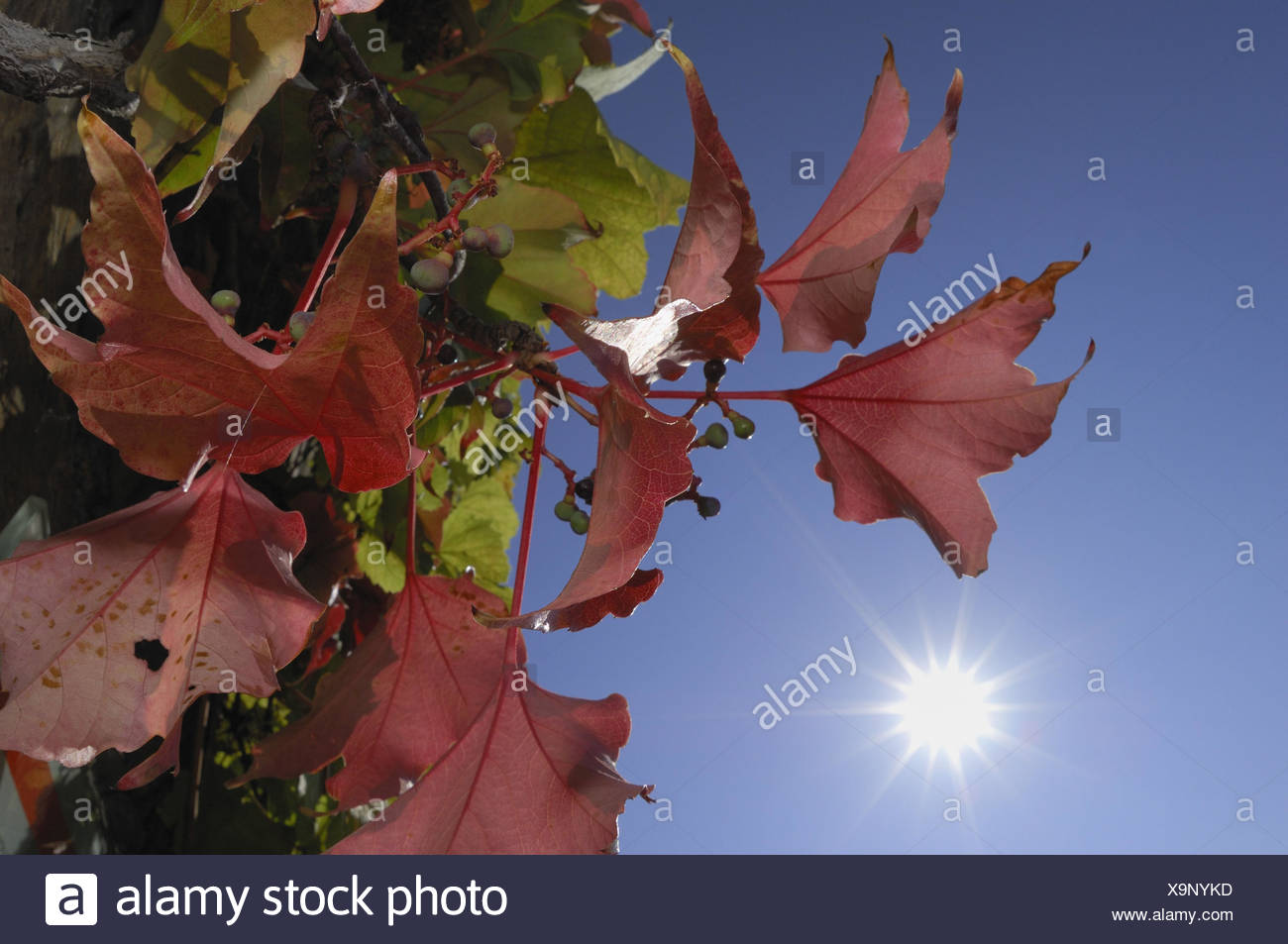 Red Parthenocissus Stockfotos & Red Parthenocissus Bilder - Seite 3 ...