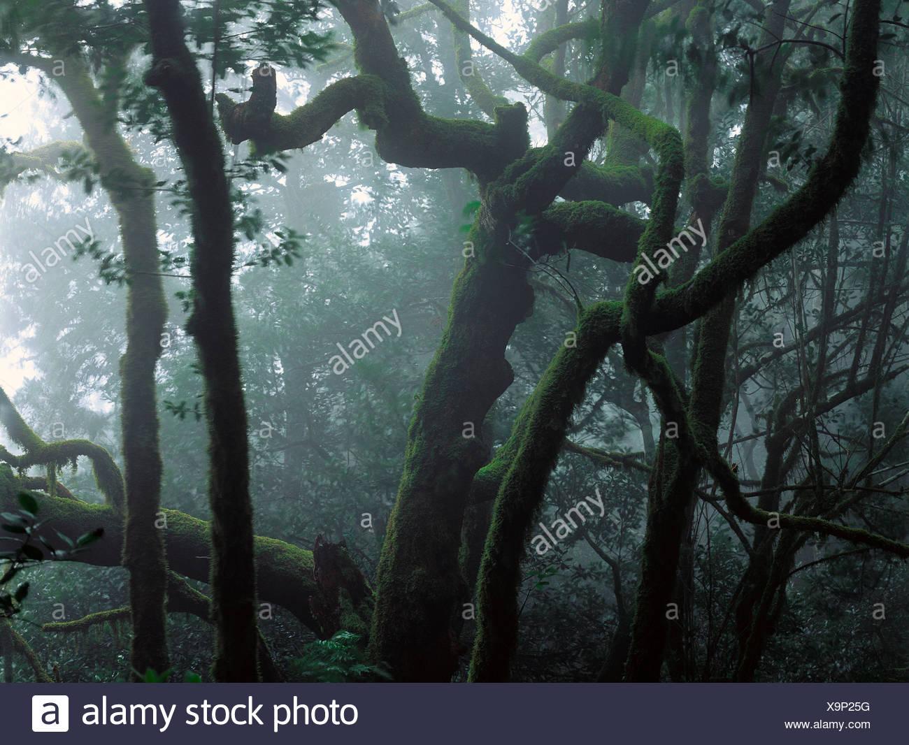 Laurisilva (Lorbeerwald primitiv). Nationalpark Garajonay. La Gomera. Kanarischen Inseln. Spanien Stockbild