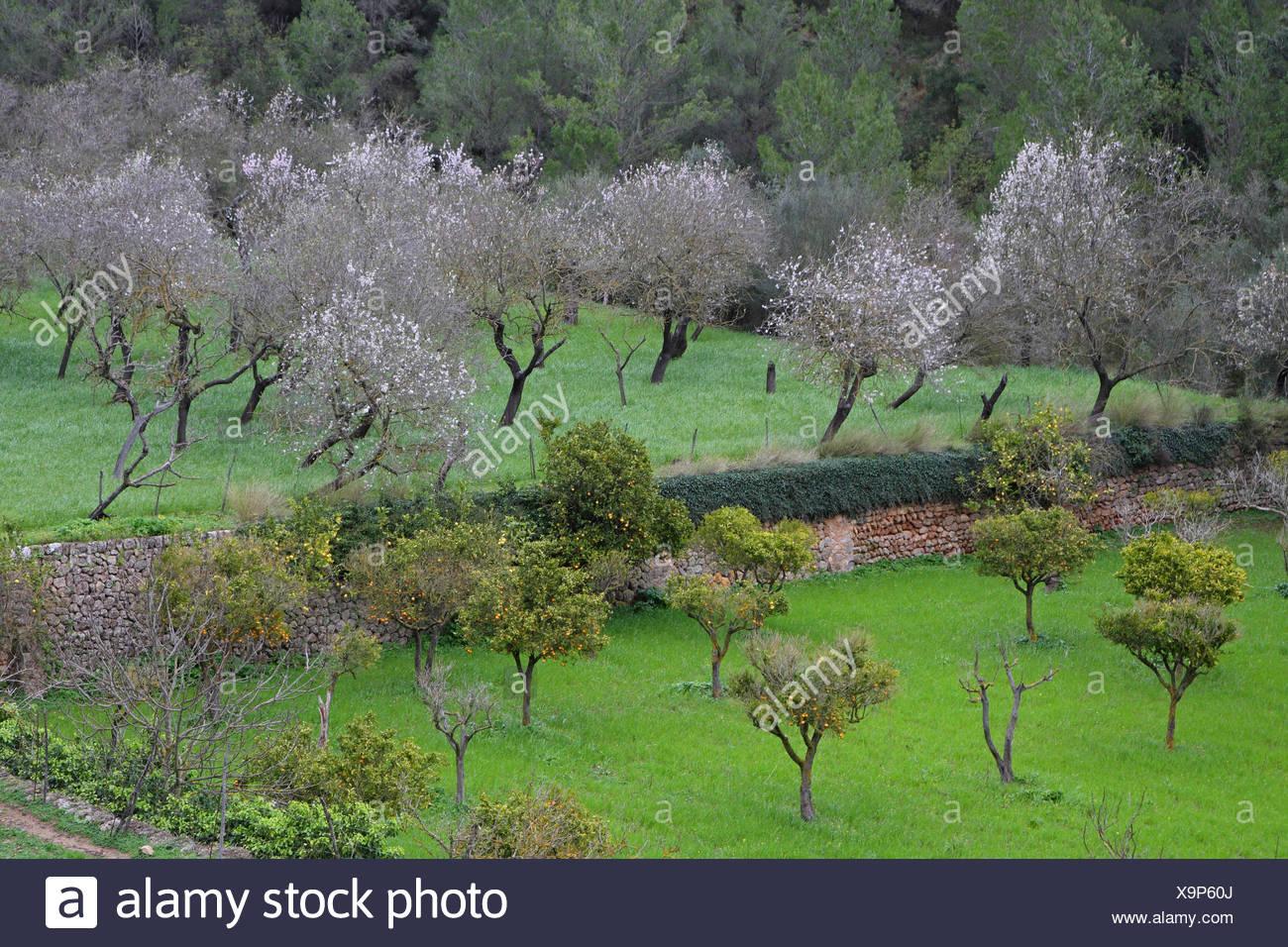 Mandel- und Orangenbäume in einem Obstbaum, Spanien, Balearen, Mallorca Stockbild