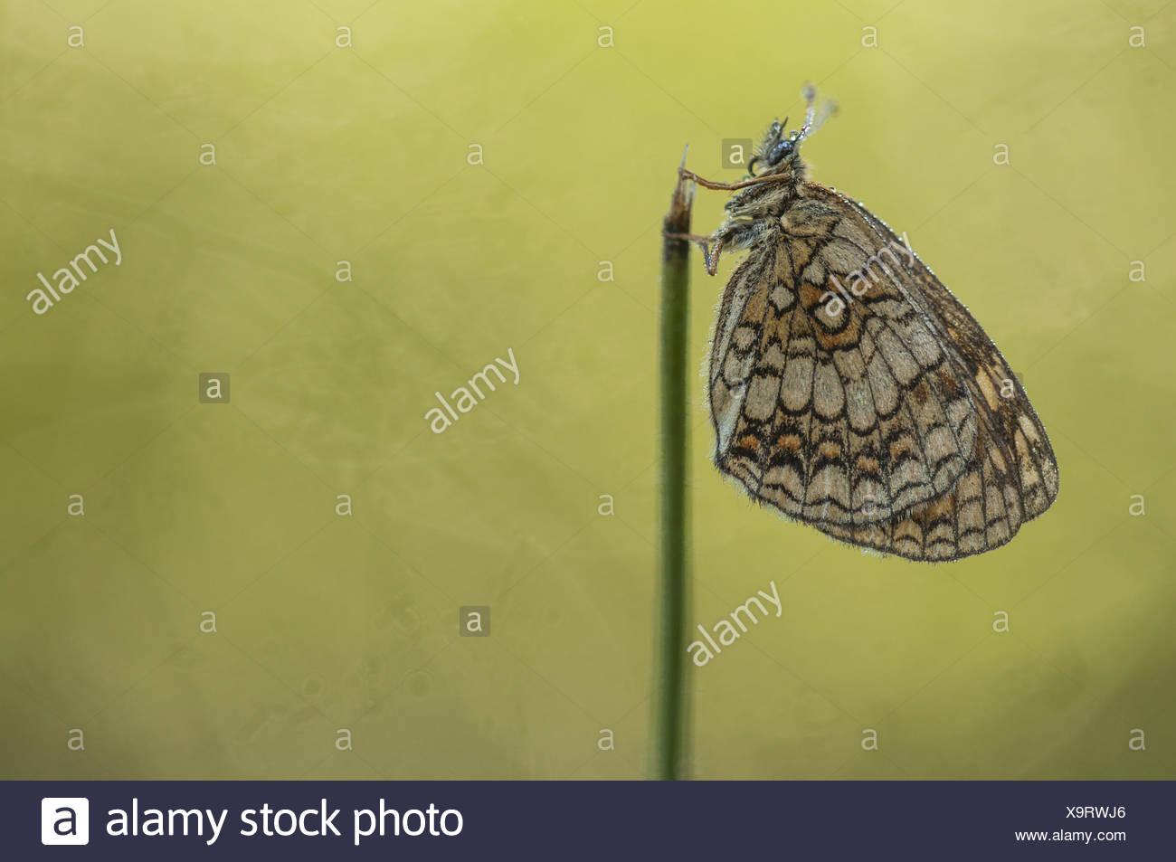 Heide Fritillary (Melitaea Athalia), Deutschland Stockbild