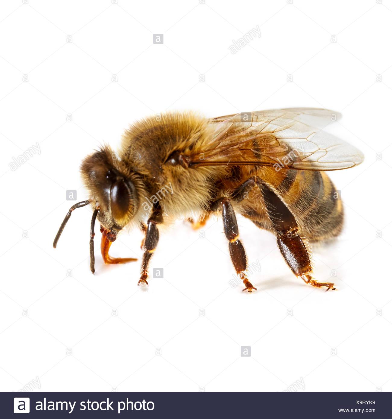 Honigbiene Stockbild