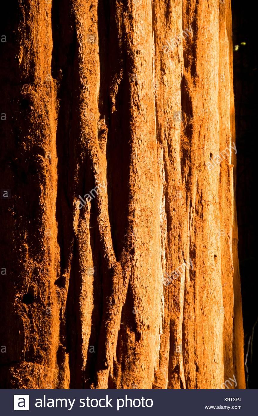 Mammutbaum Sequoia Sempervirens Stamm im Lost Grove, Sequoia Nationalpark, Kalifornien Stockbild