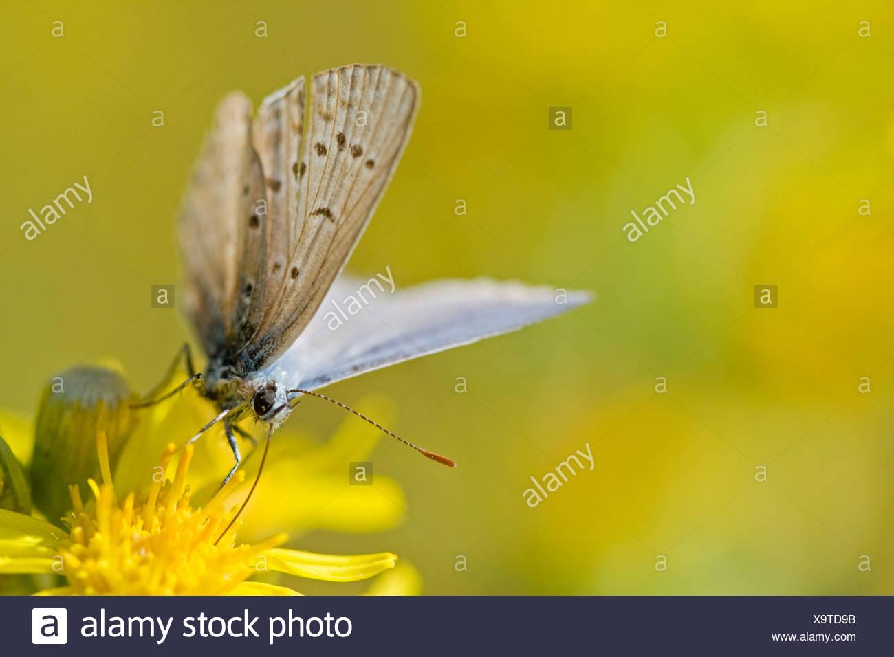 Gemeinsamen blauer Schmetterling (Polyommatus Icarus) ruht auf Blume Stockbild