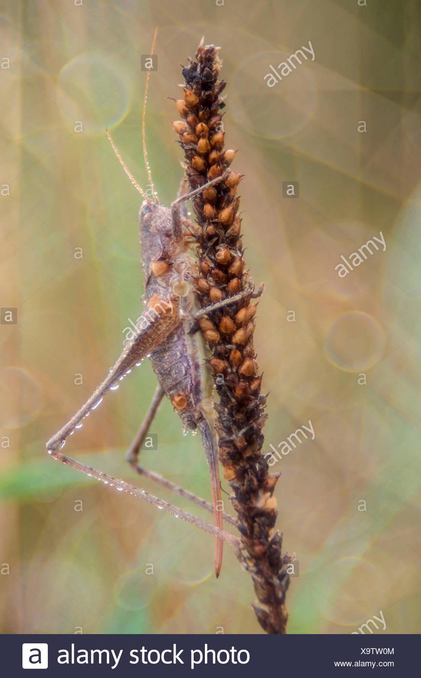 Tettigoniidae, Salata, Piemont, Italien Stockbild