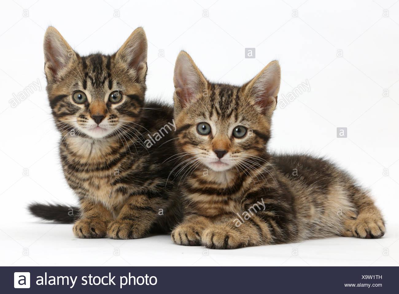 Zwei Tabby Kätzchen, Wisch- und Picasso, 8 Wochen. Stockbild