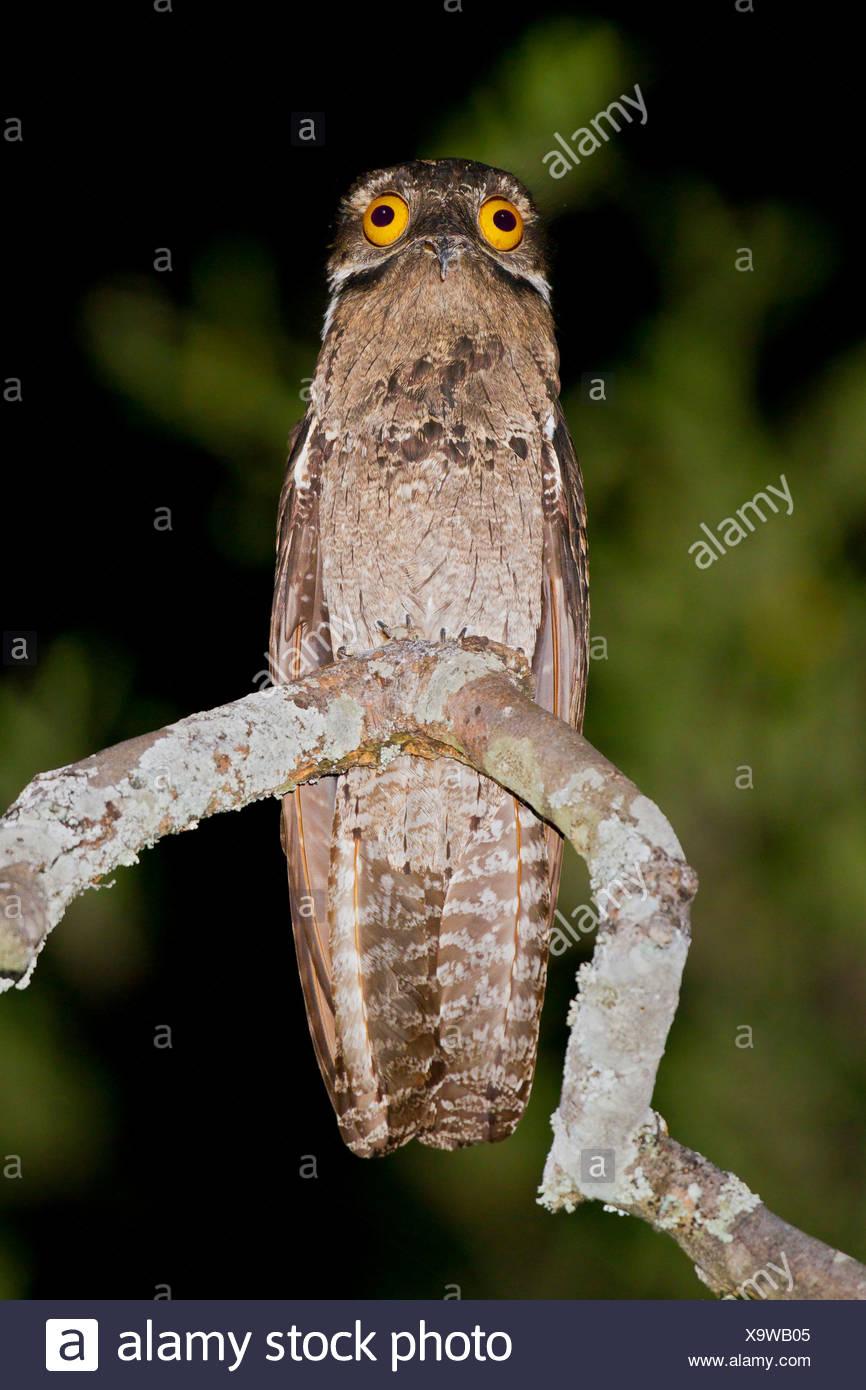 Häufig aber (Nyctibius früh) thront auf einem Ast in Peru. Stockbild