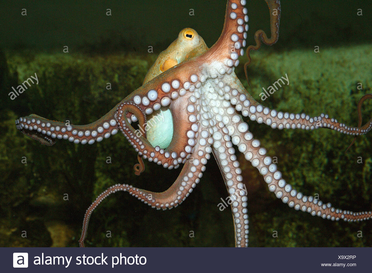 Berühmt Oktopus Färbung Seite Fotos - Malvorlagen-Ideen ...