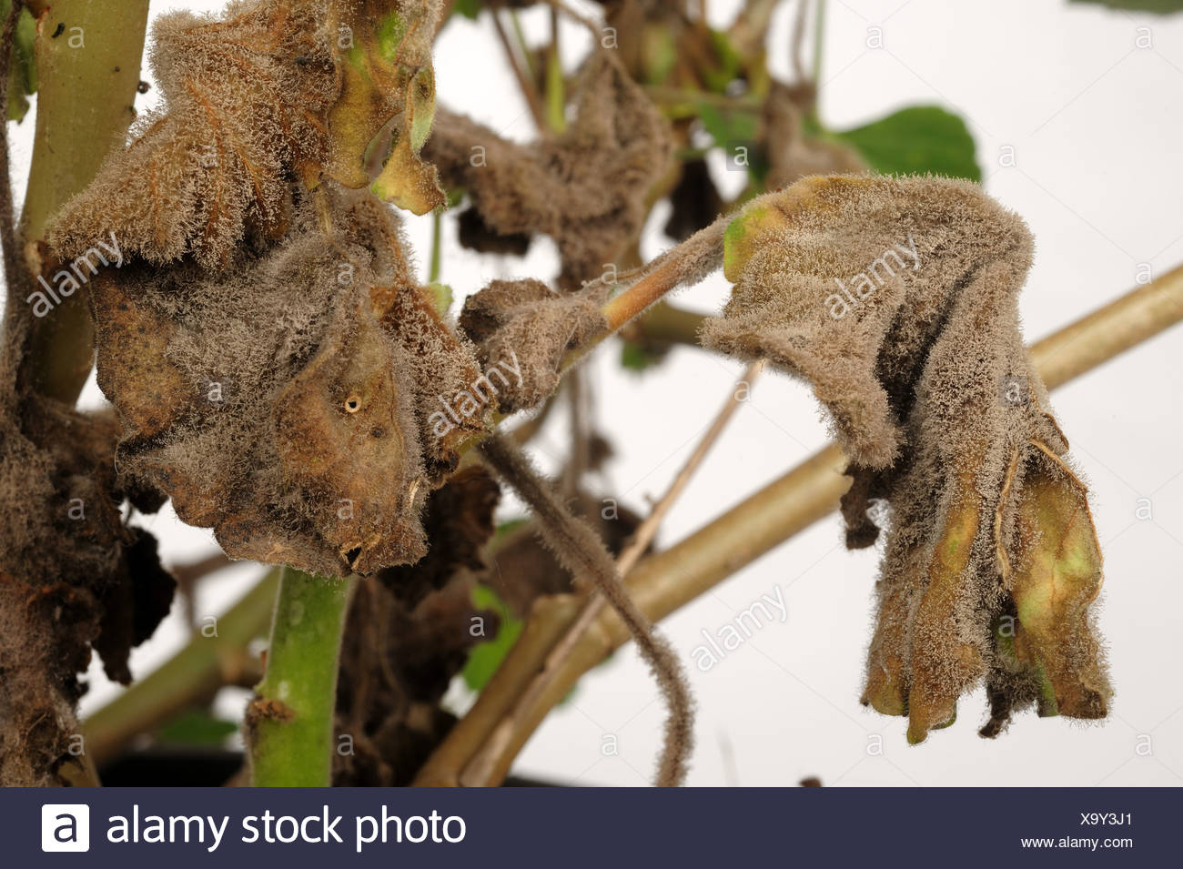 botrytis grey mould gray mold stockfotos botrytis grey mould gray mold bilder alamy. Black Bedroom Furniture Sets. Home Design Ideas