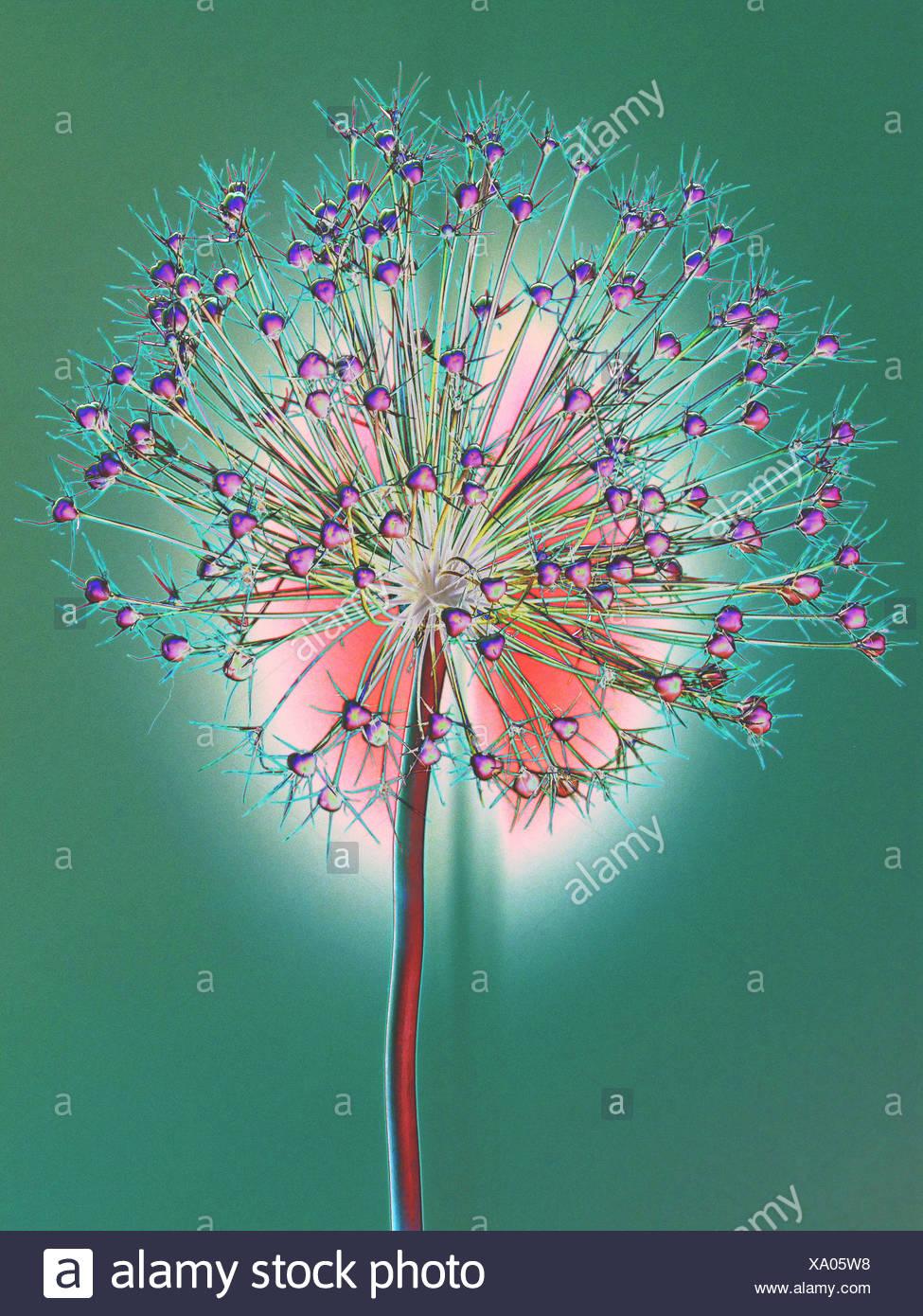 Blume, verwelkt, Allium, Konzept, Stern, Konzepte, Sterne, Licht, grün rot, entfremdet Stockbild