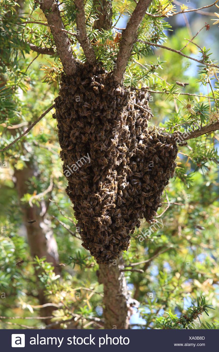 Berlin, Deutschland, hängt Bienenstöcke als Trauben in einer Baumkrone Stockbild