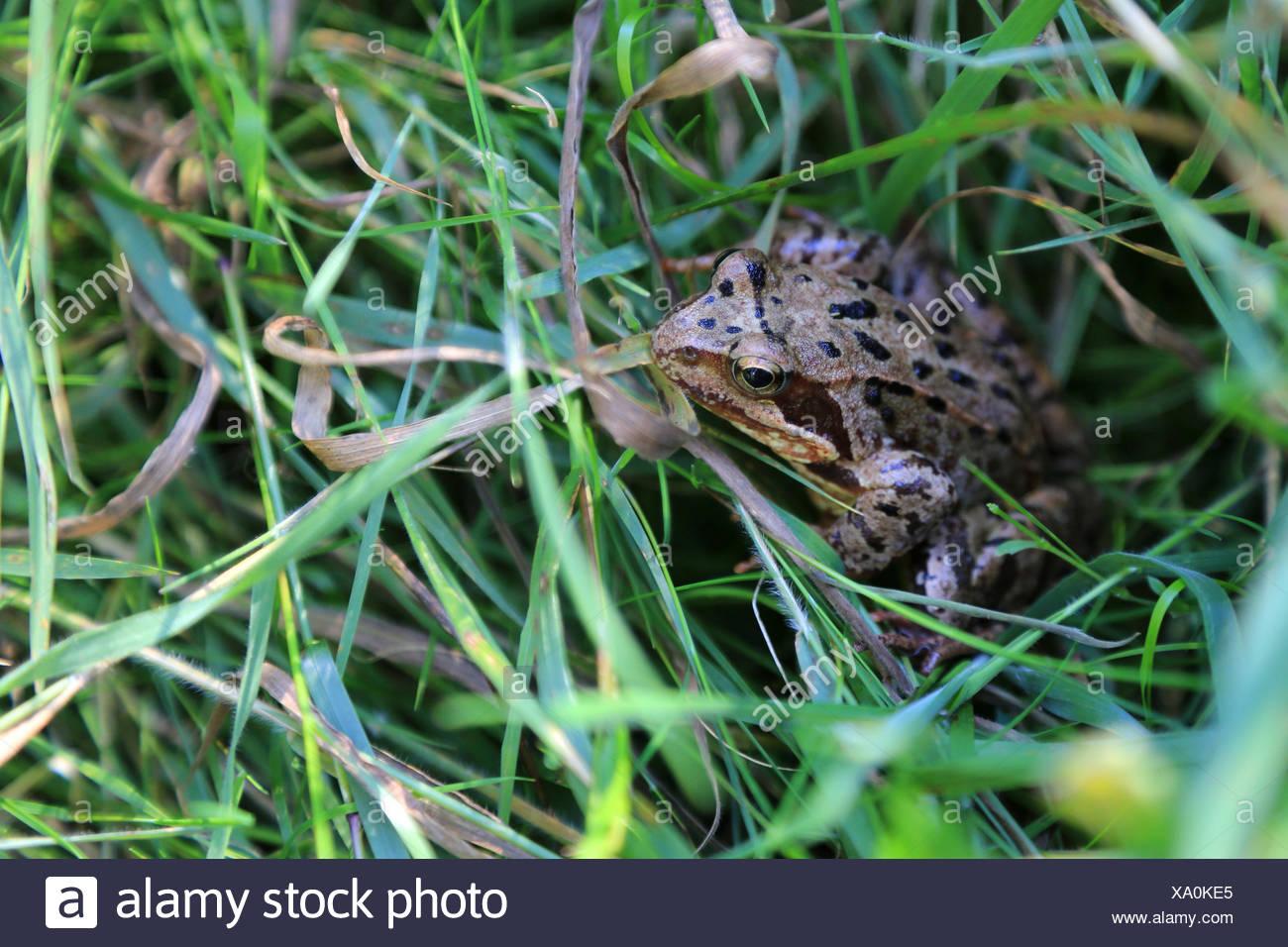 Frosch, Rana Arvalis anlegen Stockbild