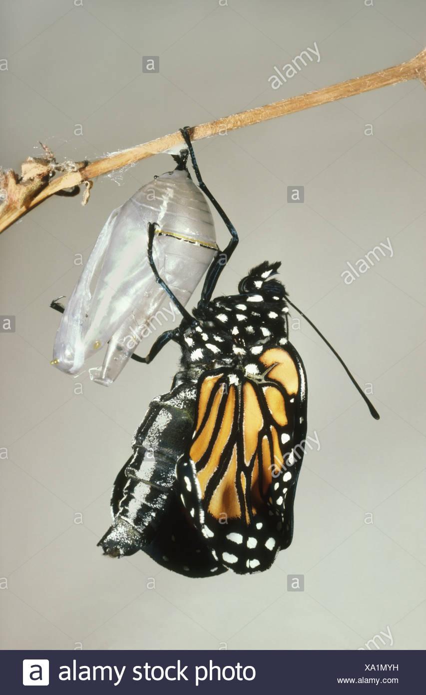 Mexiko-Monarch Schmetterling Chrysalis Shell Danaus plexippus Stockbild