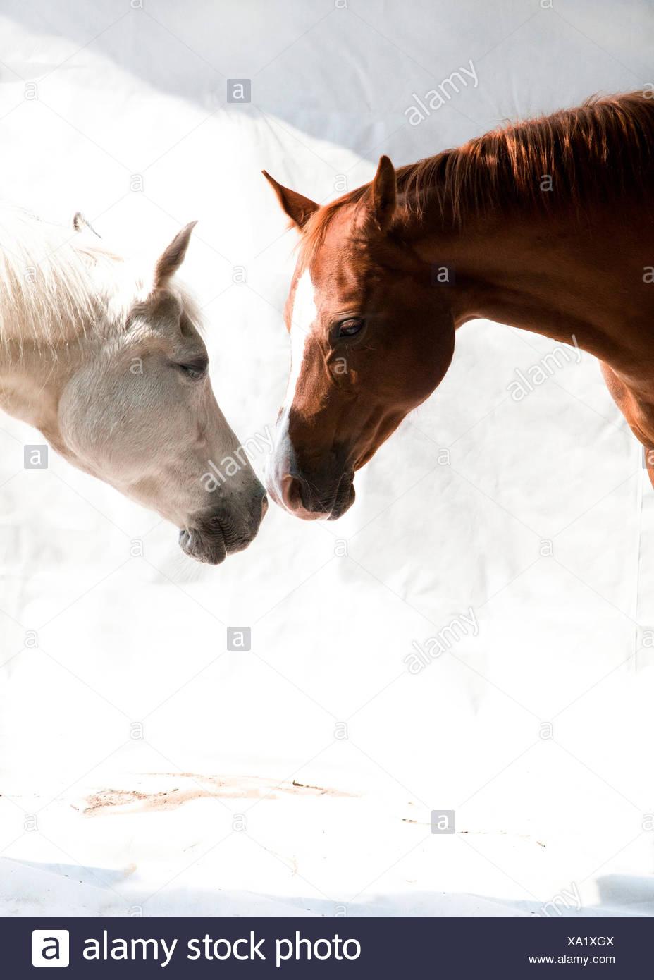 Zwei Vollblutaraber Pferde, Braun, Weiß, synthvioline, Weißer Hintergrund, Porträt, Seitlich, Stockbild