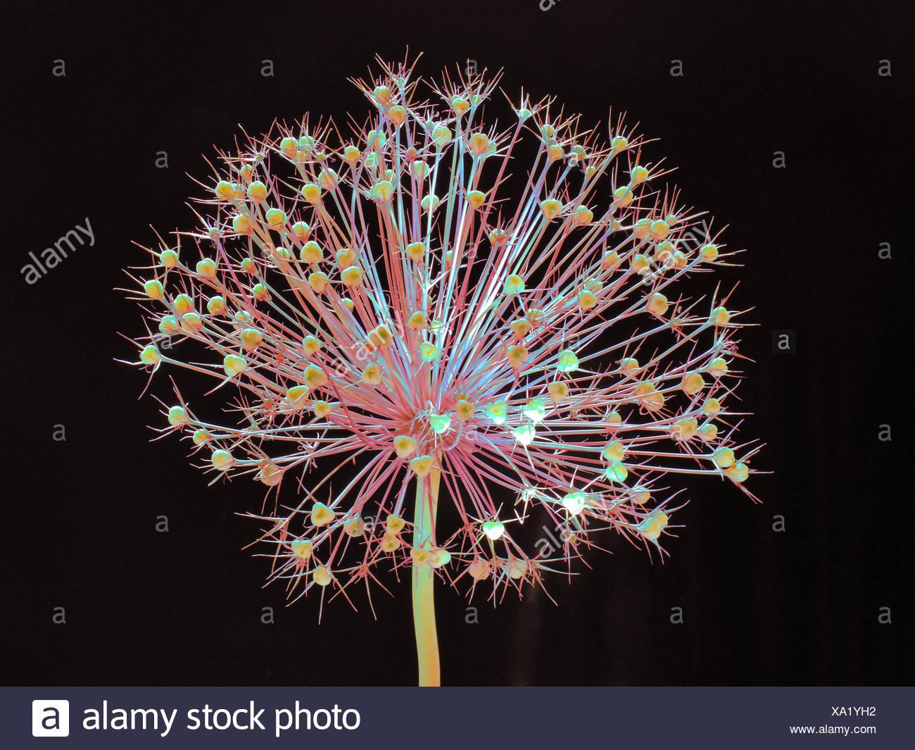 Blume, verwelkt, Allium, Konzept, Stern, Konzepte, Sterne, Licht, schwarz, entfremdet Stockbild