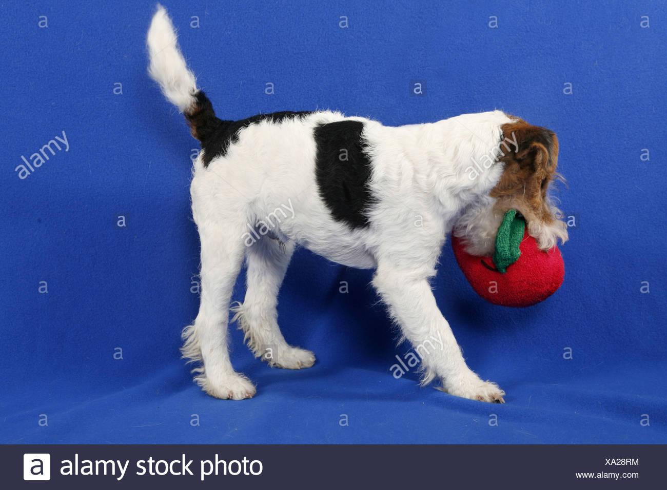 Schön Wirehaired Terrier Mix Welpen Temperament Ideen - Der ...
