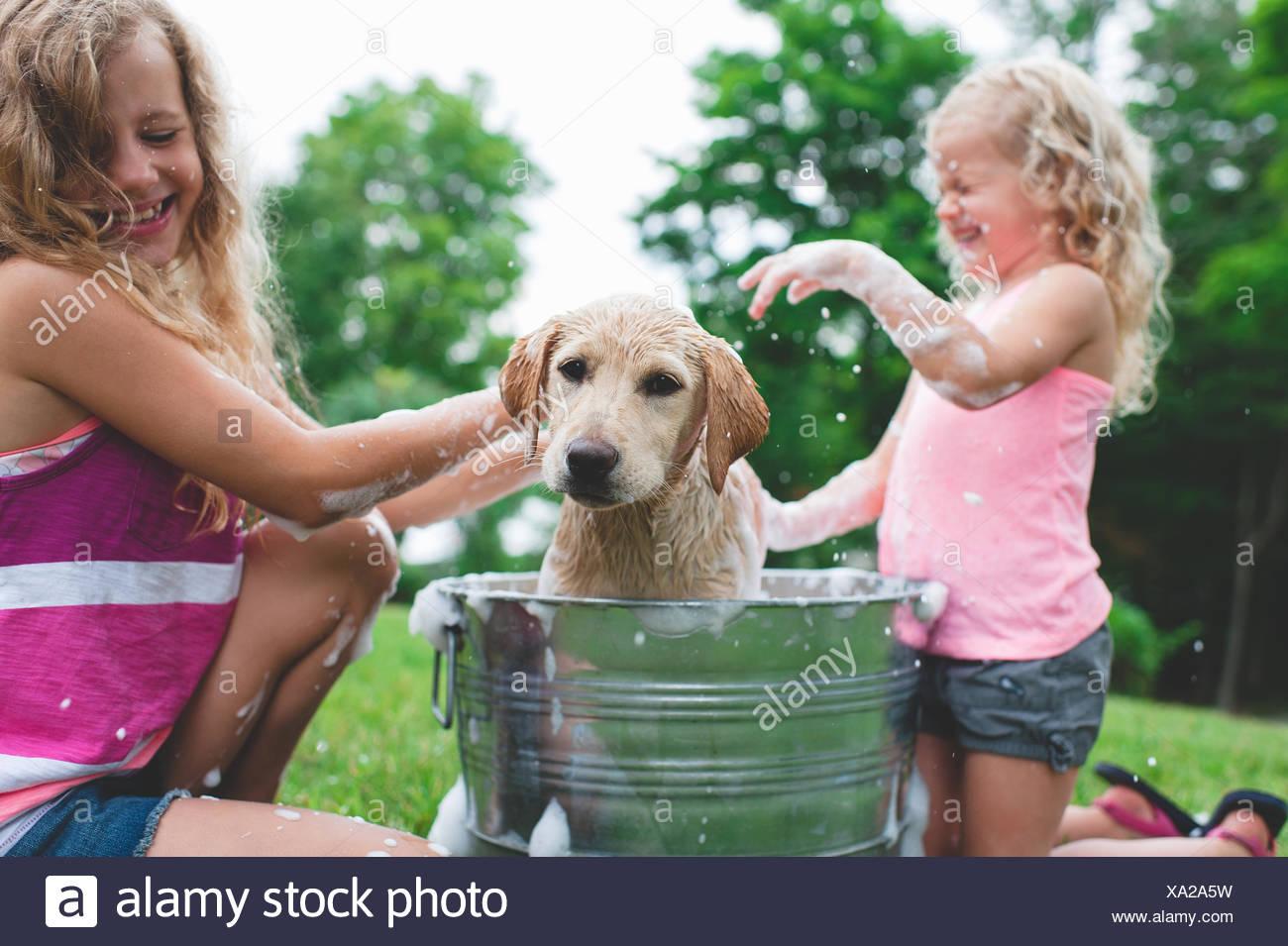 Labrador Retriever Welpen in Eimer schütteln Badewasser bei Schwestern Stockbild