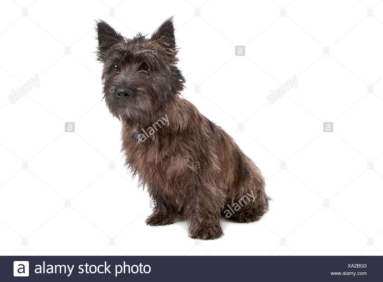 Dog Cairn Terrier Adult Sitting Stockfotos Dog Cairn Terrier Adult