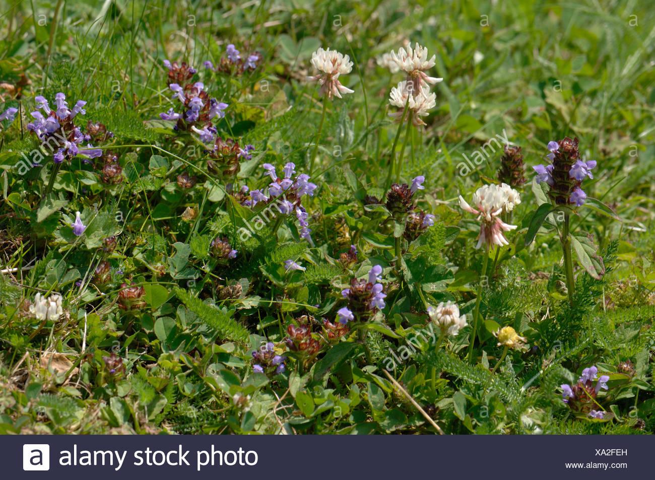 Selbst Heilen Und Weißer Klee Blüte Im Garten Rasen Im Sommer