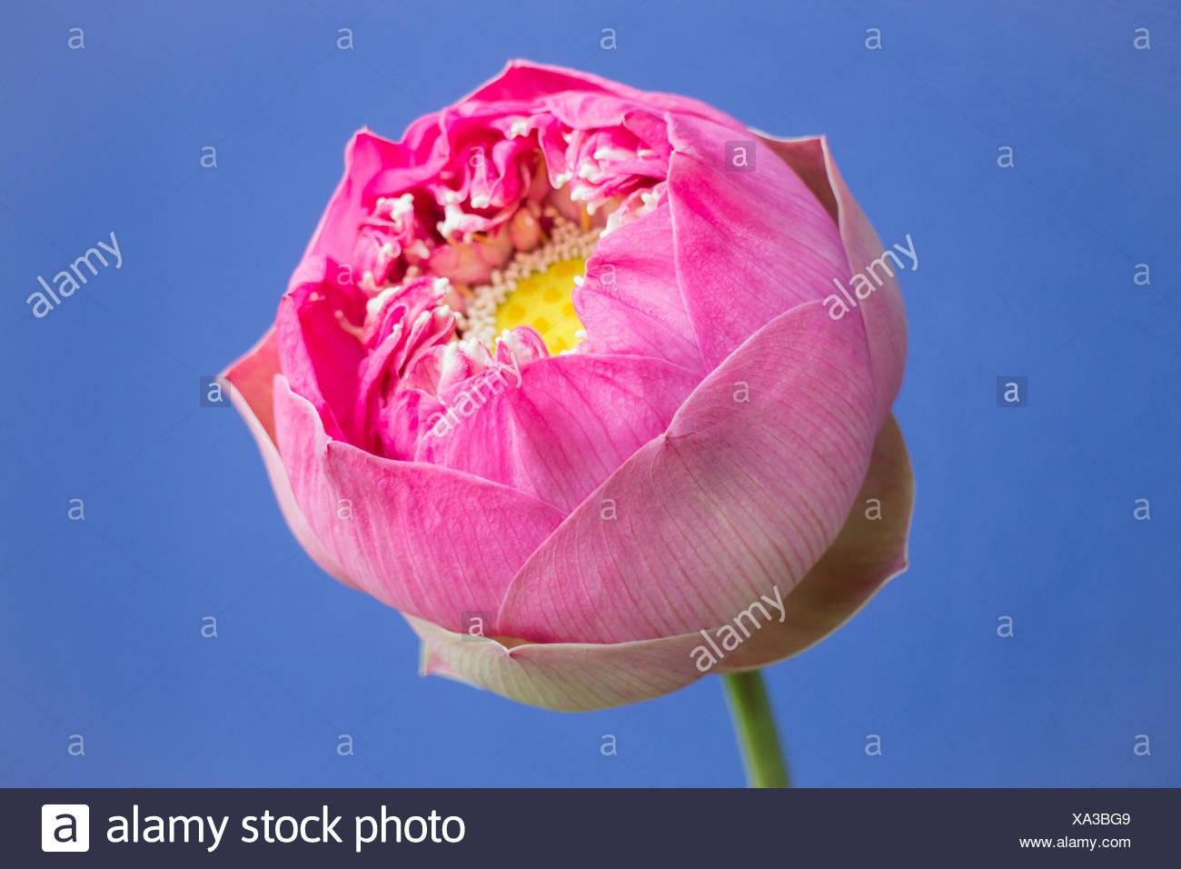 Lotus Flower Auf Der Blauen Wand Hintergrund Stockfoto Bild