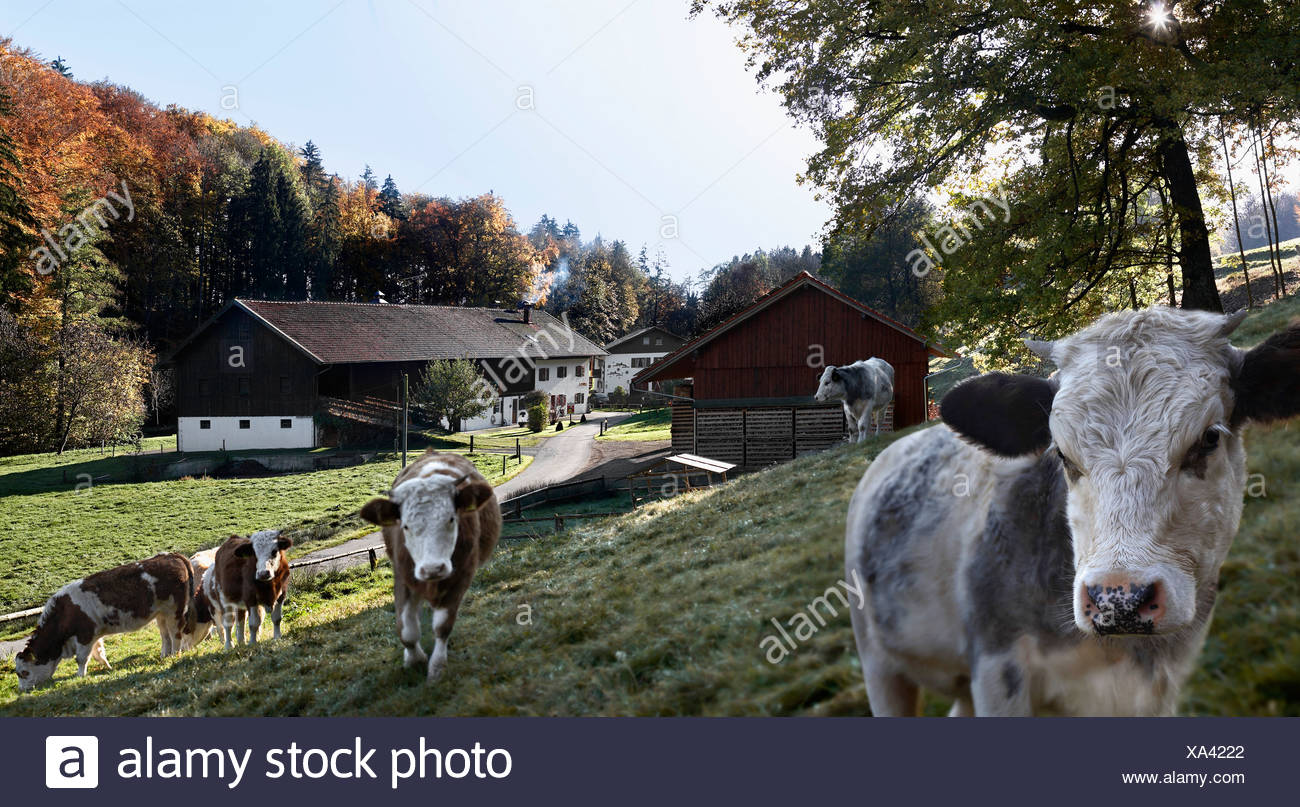 Kühe laufen auf Bauernhof Stockbild