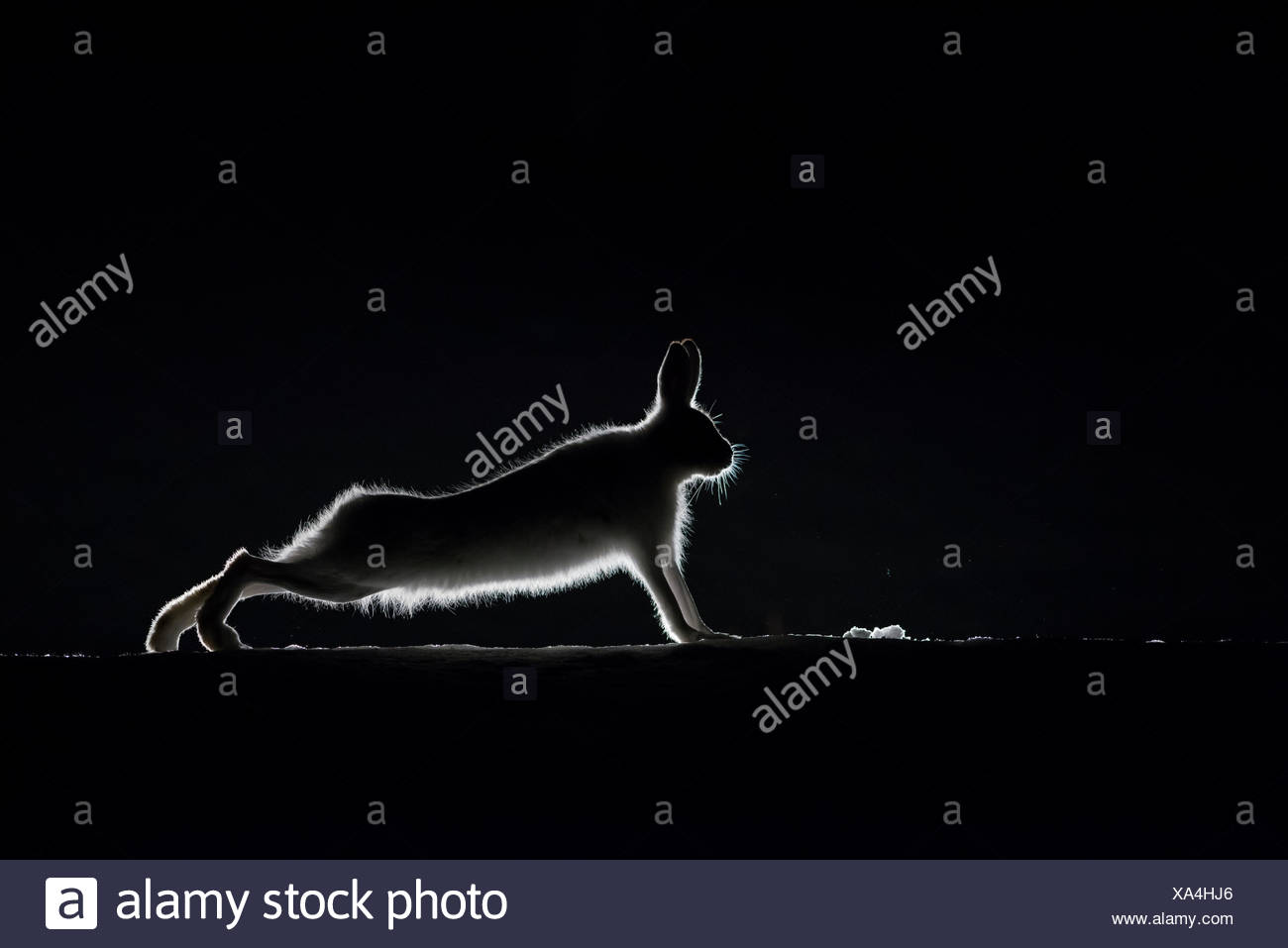 Silhouette eines Berges hase Lepus timidus, Stretching. Stockbild