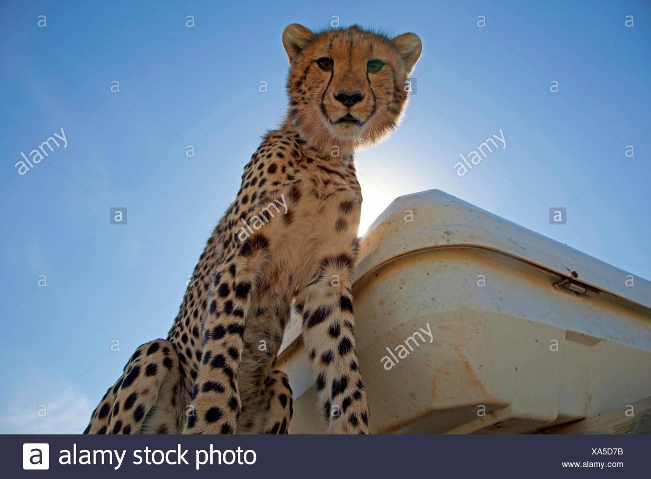 Gepard (Acinonyx Jubatus), sitzt auf einem Offroad-Fahrzeug, Kenia, Masai Mara Nationalpark Stockbild