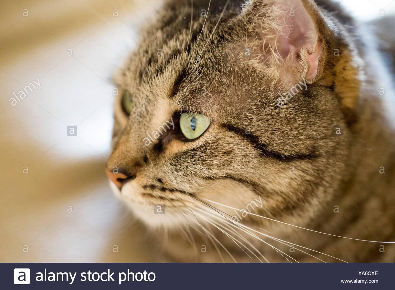 Profil-Nahaufnahme von Tabby Katze mit grünen Augen Stockbild
