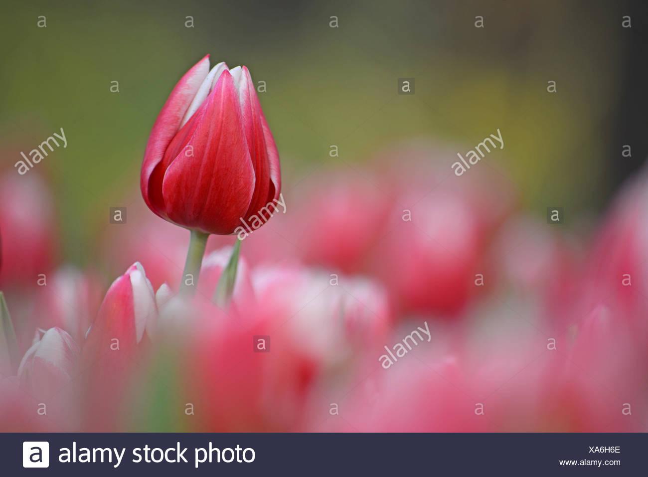 Schön Tulpe Blume Malvorlagen Zeitgenössisch - Malvorlagen Von ...