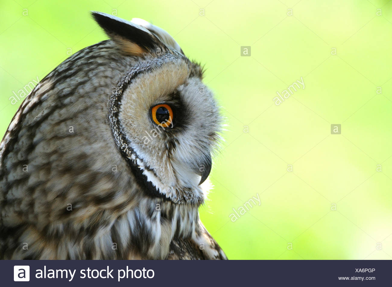 Lange eared Eule, Asio Otus, Eule, Eulen, Nachtschwärmer, Ohr Eulen, Vogel, Tier, Tiere, Deutschland, Europa, Stockbild