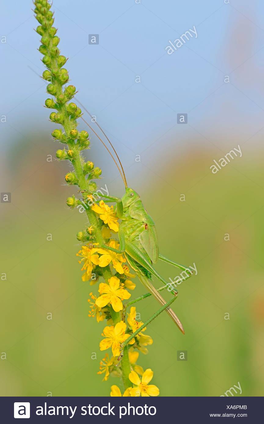 Große grüne Bush Cricket (Tettigonia Viridissima), Weiblich, larval Stadium, auf gemeinsame Agrimony (Agrimonia Eupatoria) Stockbild
