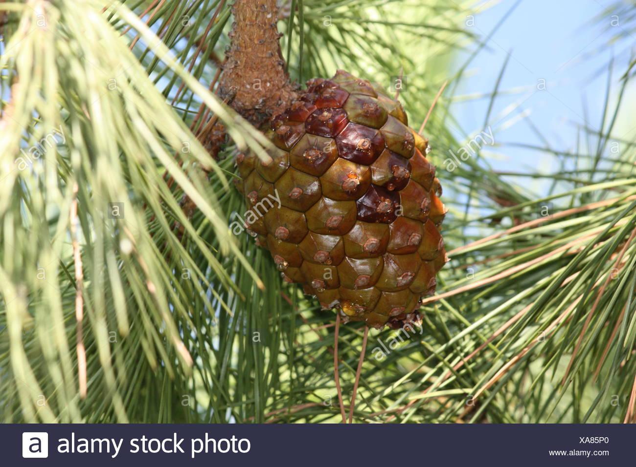 Der Sperma-Baum