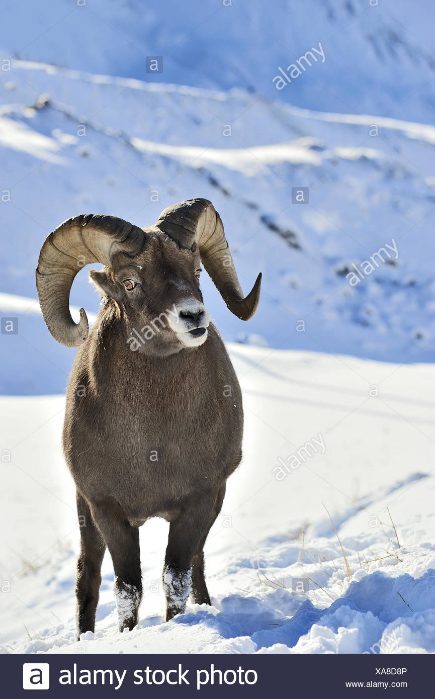ein vertikales bild eines bighorn ram orvis canadensis steht in den schnee ein wachsames auge. Black Bedroom Furniture Sets. Home Design Ideas