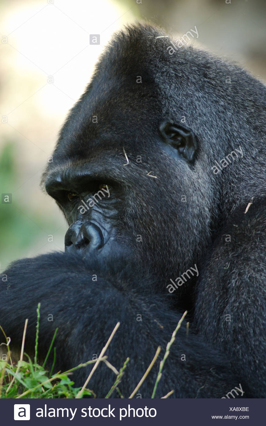 Männlich, Flachlandgorilla (Gorilla Gorilla Gorilla) Stockbild
