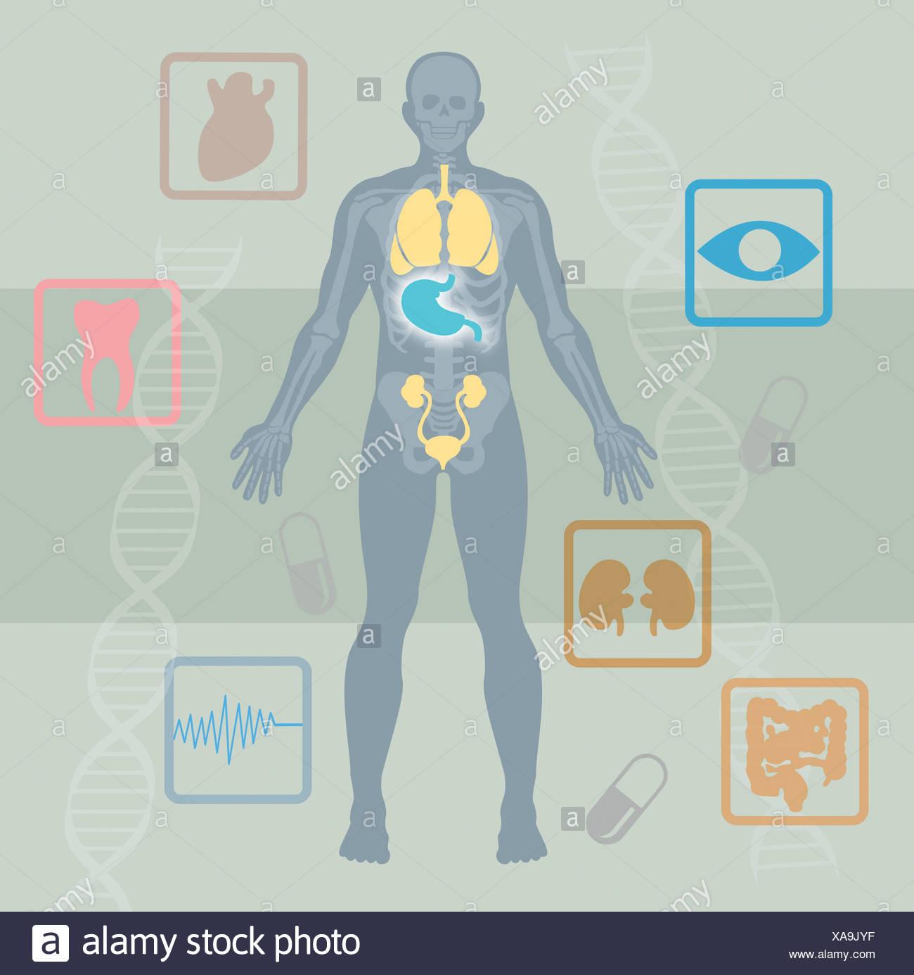 Ausgezeichnet Eine Schematische Darstellung Des Menschlichen Körpers ...