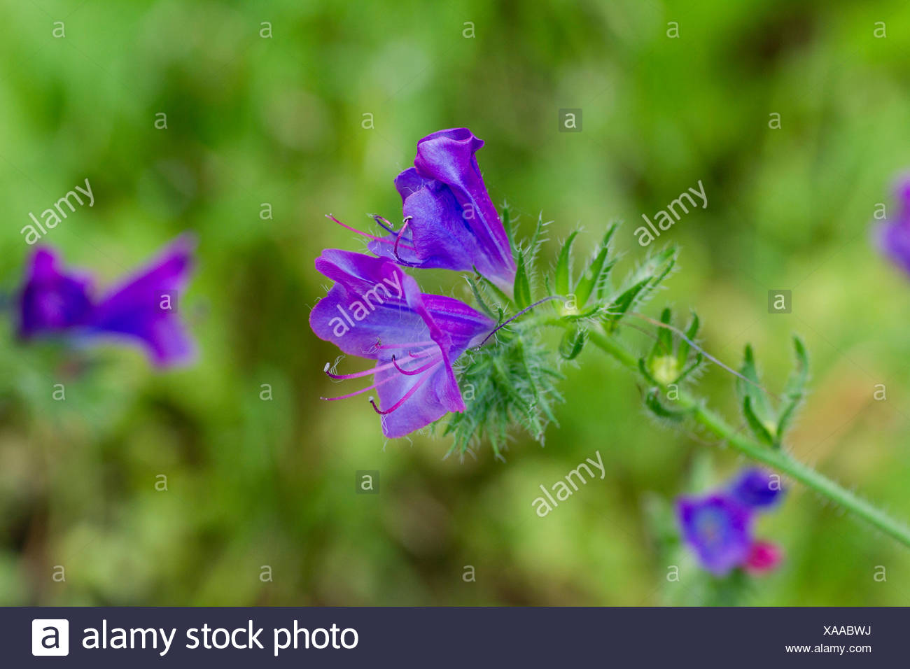 Lila Bugloss Echium Plantagineum Blüte Spanien Stockbild