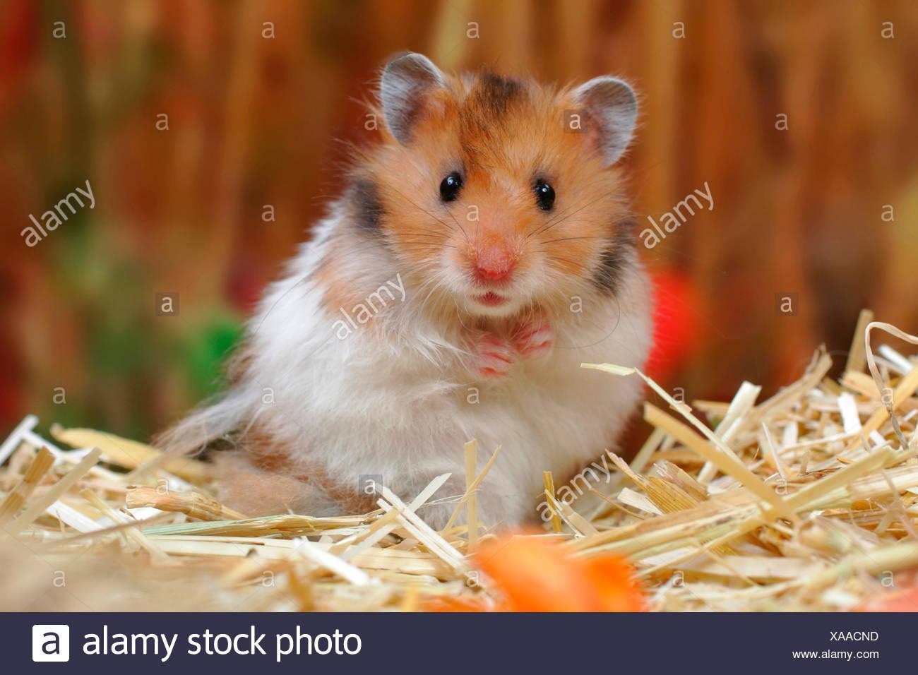 Website des Hamsters Erwachsener Teenager-Junge Sex-Video