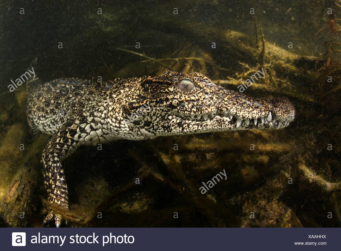 Endemische kubanische Krokodil Crocodylus Rhombifer, Isla De La Juventud, Kuba Stockbild