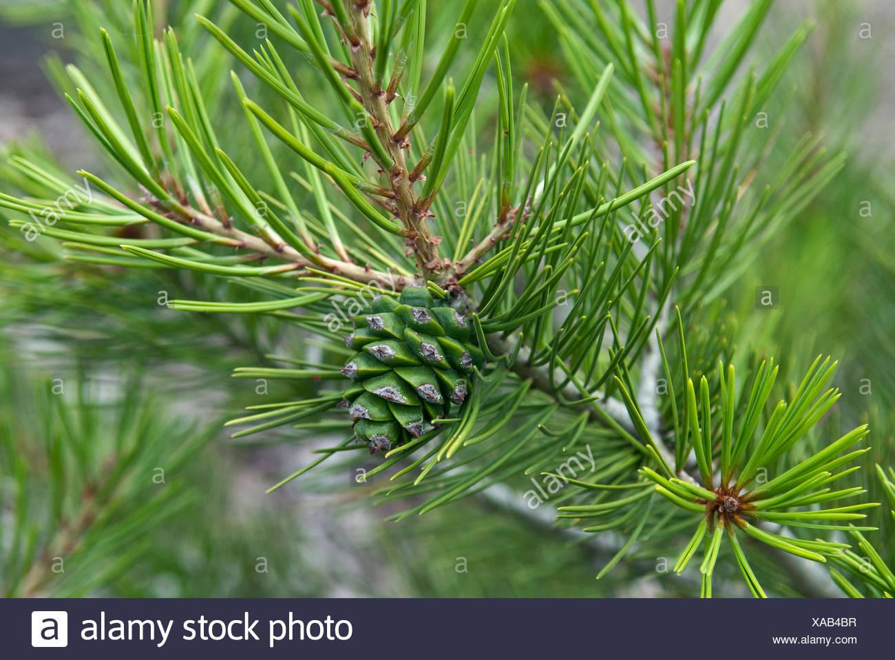 Lacebark-Kiefer (Pinus Bungeana), Zweig mit jungen Kegel Stockbild